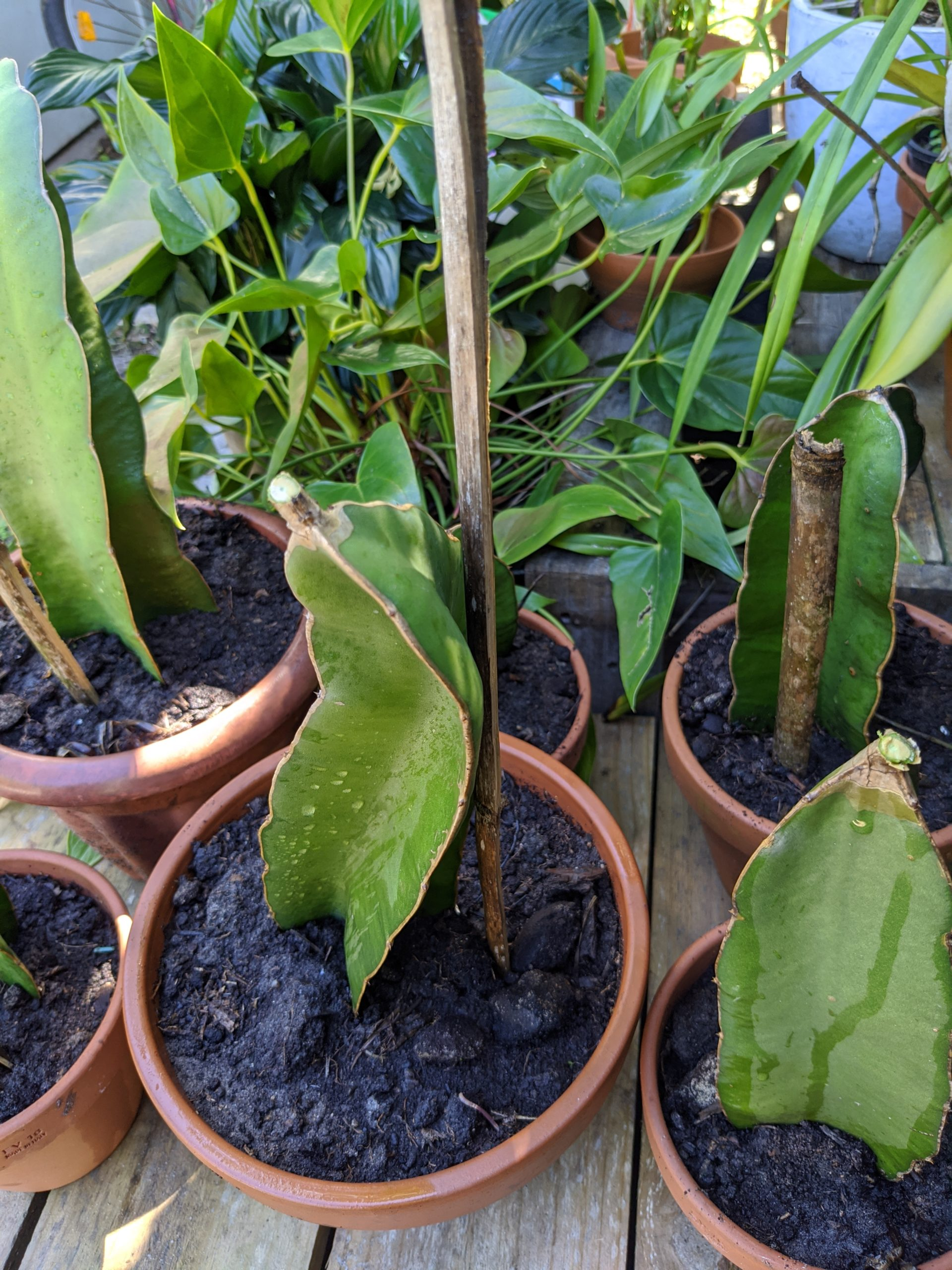 Potted Dragon fruit cuttings